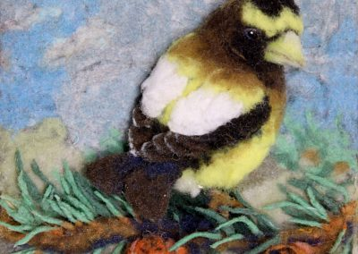 Evening Grosbeak on Pine Branch